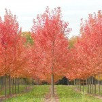 Acer freemanii Jeffersred