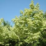 Acer plat Variegatum