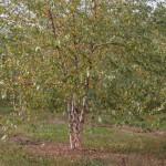 Betula Papryifera
