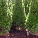 Emerald Cedar